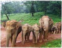Simlipal Elephants
