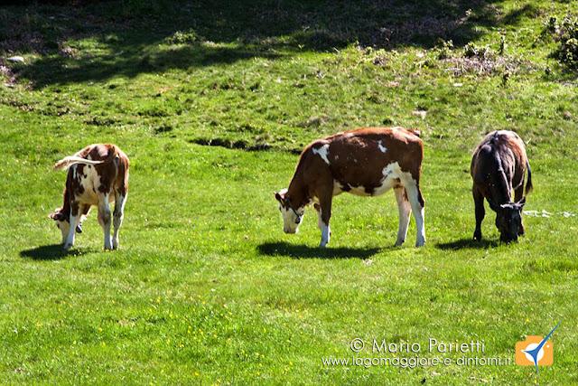 Mucche al pascolo all'alpe Chedo