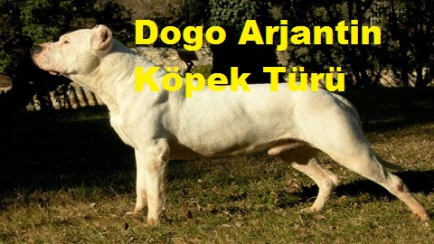 Dogo Arjantin Köpek Türü