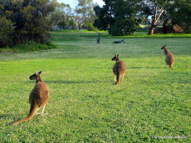 Kangaroos Heirrison Island