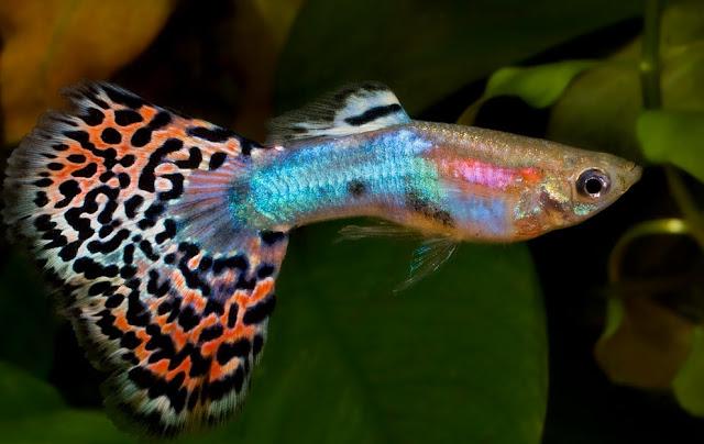 Dunia Ikan Hias - Fantail Guppy