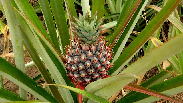 Benefits-Of-Pineapple, Health-Benefits-Of-Pineapples, Nutritional-Value-Of-Pineapples, Pineapple, Pineapples-Benefits, Pineapples-Nutrition, Healthy-Food,