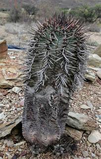 Euphorbia polygona var. 030520D