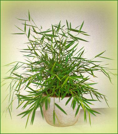 le bambou nain flore de l le de la r union. Black Bedroom Furniture Sets. Home Design Ideas