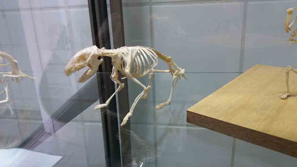Esqueleto de un erizo de tierra de perfil