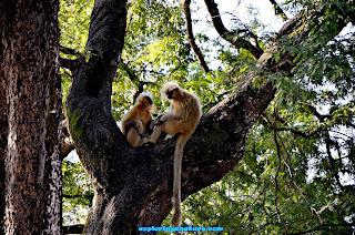 Yellow Monkey (Langur)