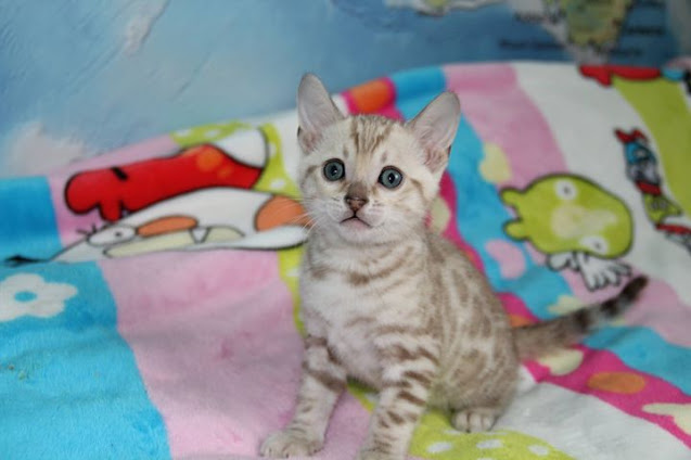 snow bengal kittens for sale