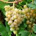 Manfaat buah anggur untuk kesehatan dan kecantikan tubuh