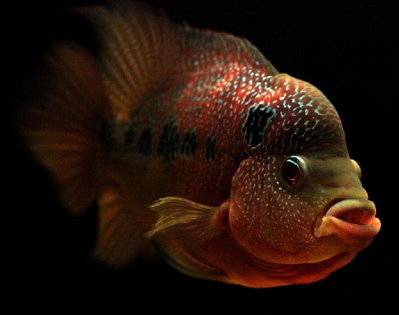 Gambar penyakit ikan Louhan White Spot