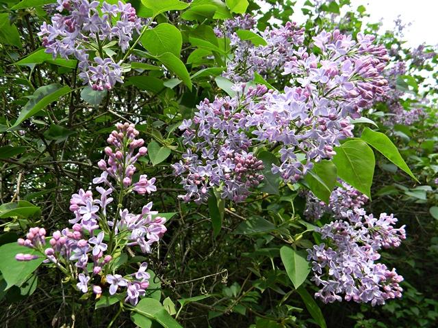 kwiaty, majowe, bzy, wiosna