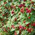 Τα  Berries της Ροδόπης