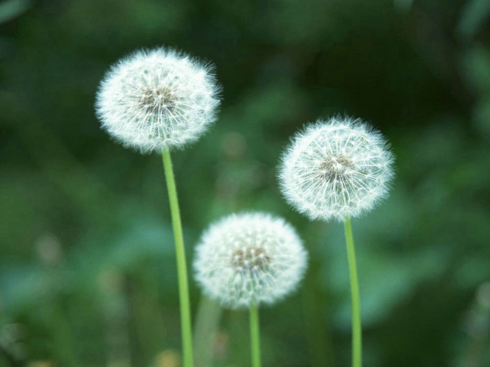 amazing flower: dandelion flower wallpaper