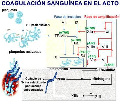 Síntesis de proteínas coagulantes de la sangre