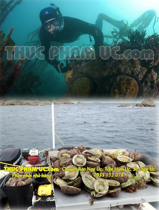 Bào ngư Úc viền xanh Tasmania của Australia