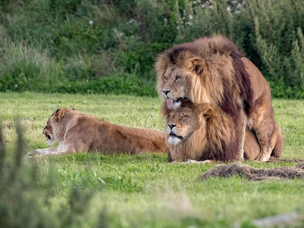 Captan a dos leones copulando, mientras la hembra está sólita