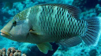 ikan napoleon anambas