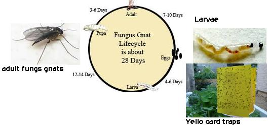 Getting Rid Of All Fungus Gnats Life Cycle