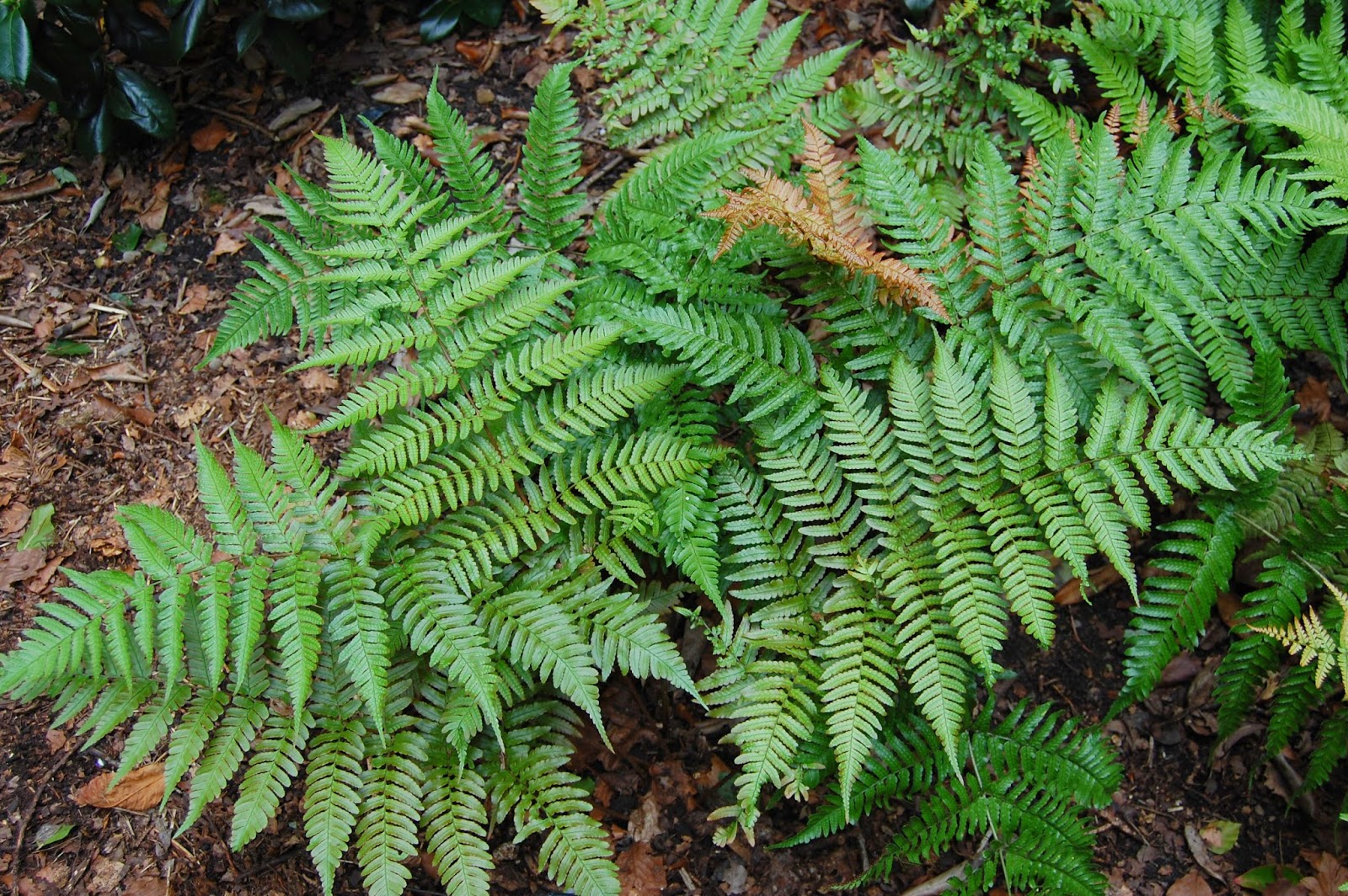 Autumn Fern One Of The Best