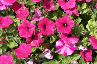 Petunia Supertunia Vista Fuchsia