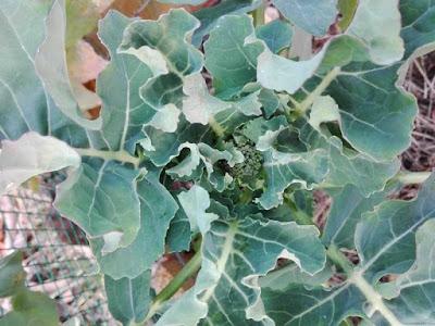 orto-di-gennaio-broccolo