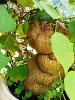 Củ Bình vôi là nguyên liệu chiết xuất Rotundin- hoạt chất trong Rotunda