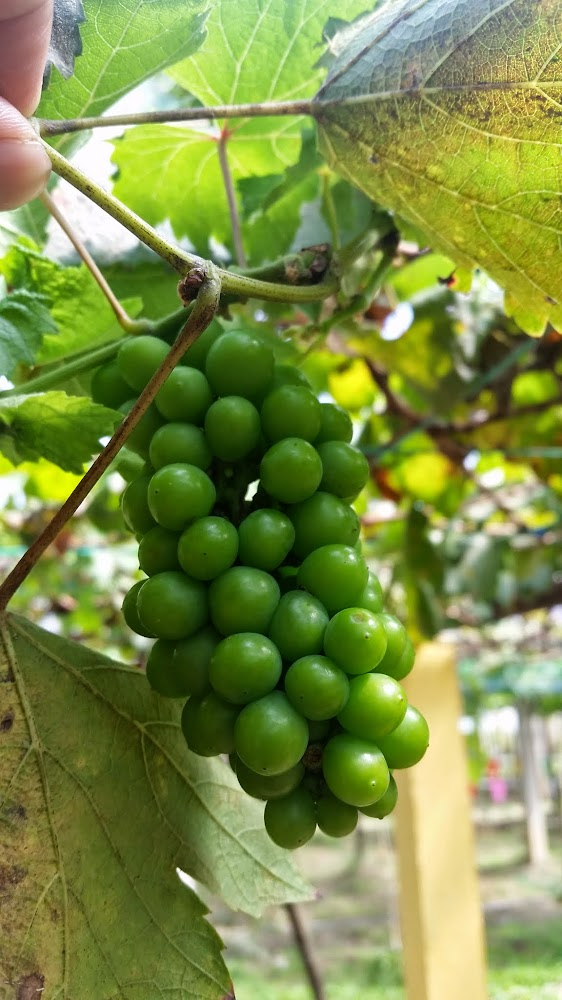 Anggur Muda