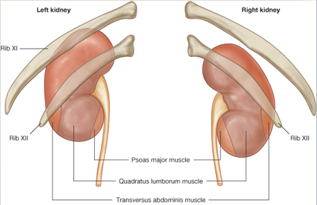 Human Anatomy Kidneys And Ureters Lecture Notes