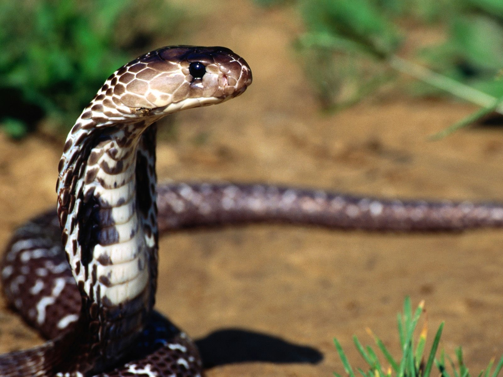 Hd Wallpaper Of Black Snake: Animals Wallpapers: Snakes Wallpaper Hd