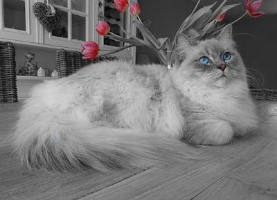 The Ragdoll Cat