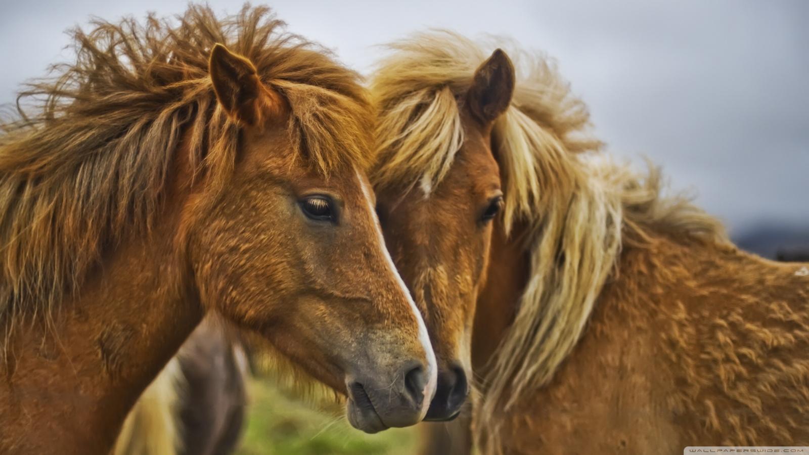 Horses HD Wallpapers Great Horses | Animal Photo - photo#18