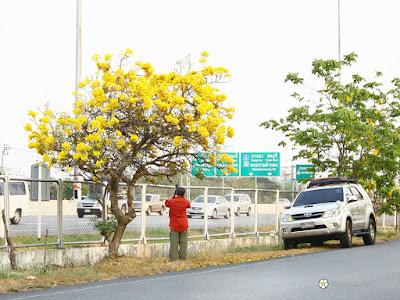 เหลืองปรีดียาธร, ตาเบบูย่าเหลือง ดอกไม้สีเหลืองสองข้างทาง