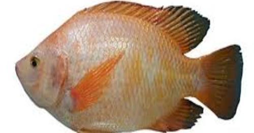 Mimpi dapat ikan mujair banyak togel