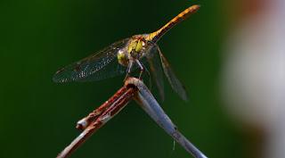Libelle, Odonata, , Libellen, dragonfly, Libélula, libellule, Стрекоза, vaterpas, raspoloženje, либела, Libellenlarven, Libellenarten, libellenbilder, Vesilood
