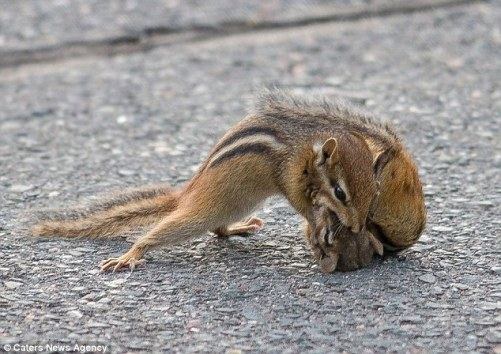 chipmunk, fighting