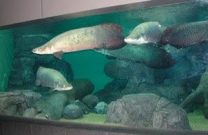 10 Ikan Langka Di Dunia Terancam Punah