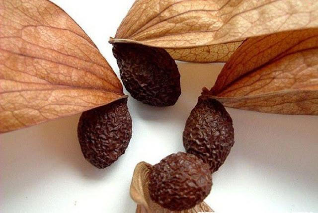 Hạt CÂY LƯỜI ƯƠI - Sterculia lychnophora - Nguyên liệu làm thuốc Chữa Ho Hen