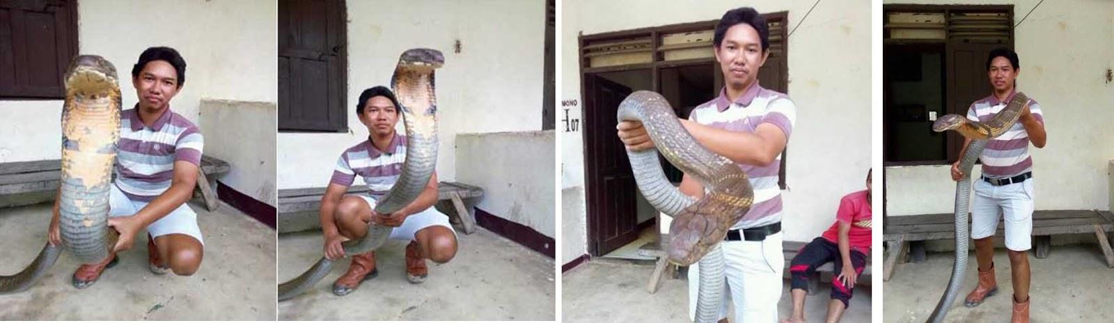 Foto Made Dwi Sudarmawan dengan King Cobra yang sangat besar.