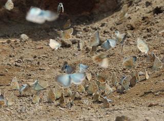 congregación de mariposas