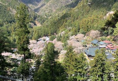 久遠寺周辺部の桜