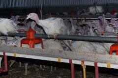 Tomma burar kalkoner - Rörelse för djurrätt
