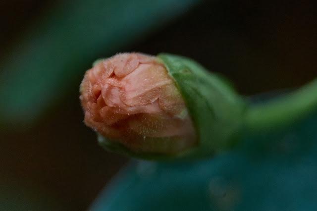Hibiscus, bud, macro-photography