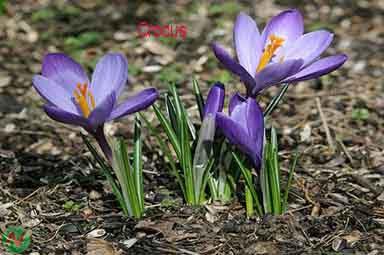 crocus flower, crocus