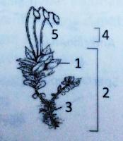 lumut, metagenesis, sporofit, gametofit
