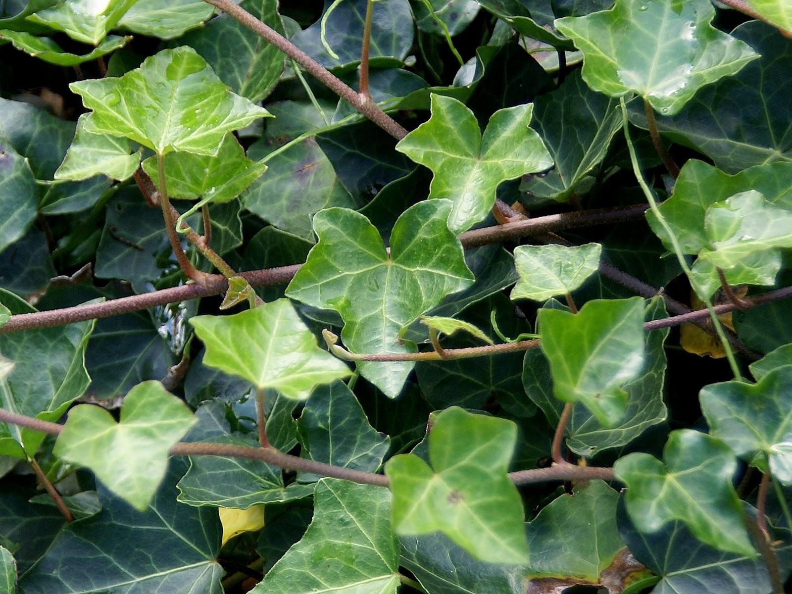 Kleine Freude: Der Efeu / Ivy Im Keltischen Baumkreis