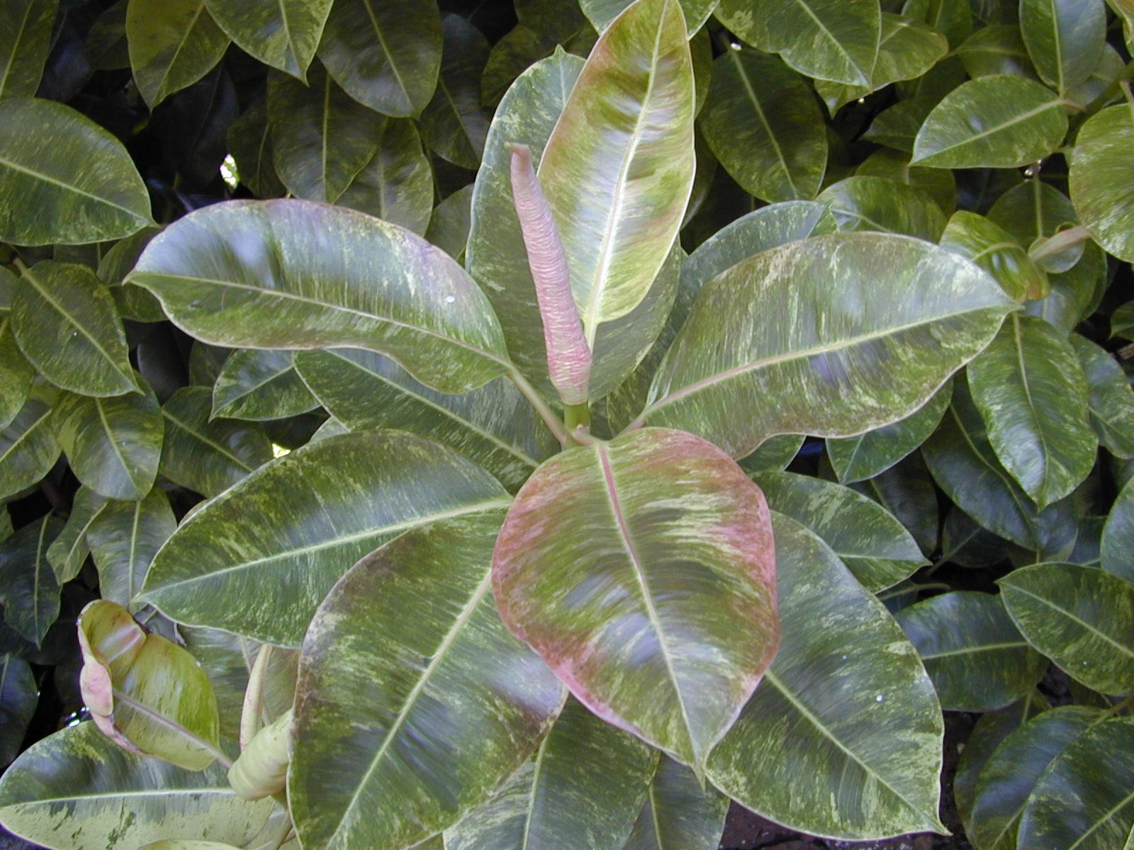 Photos Ficus Decora Vari Ef Bf Bdgata