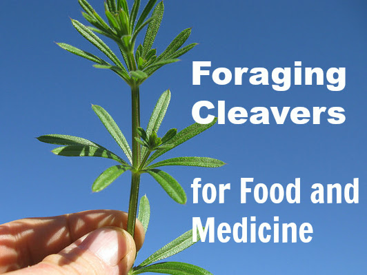 Foraging Cleavers for Food and Medicine