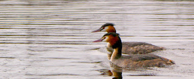GREBES HUPPES
