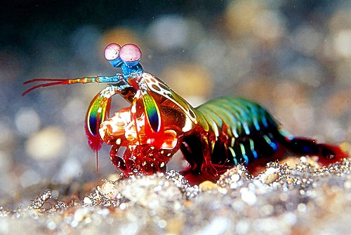 mantis udang