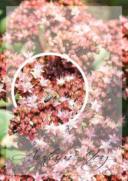 Autum Joy, Gartenpflanze