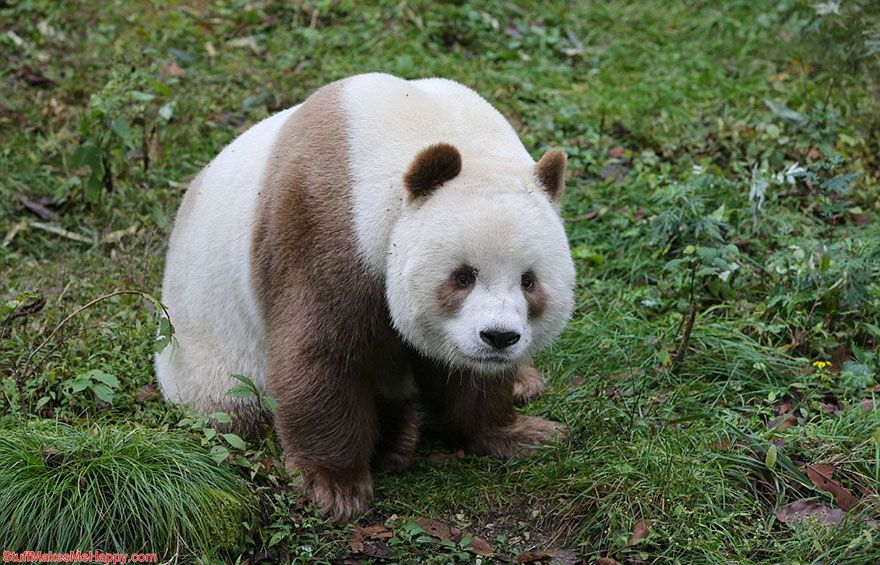 Meet Qizai - The World's Only White-Brown Panda Pictures